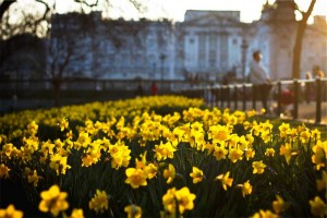 Gartentipp im April. Narzissen blühen besonders schön