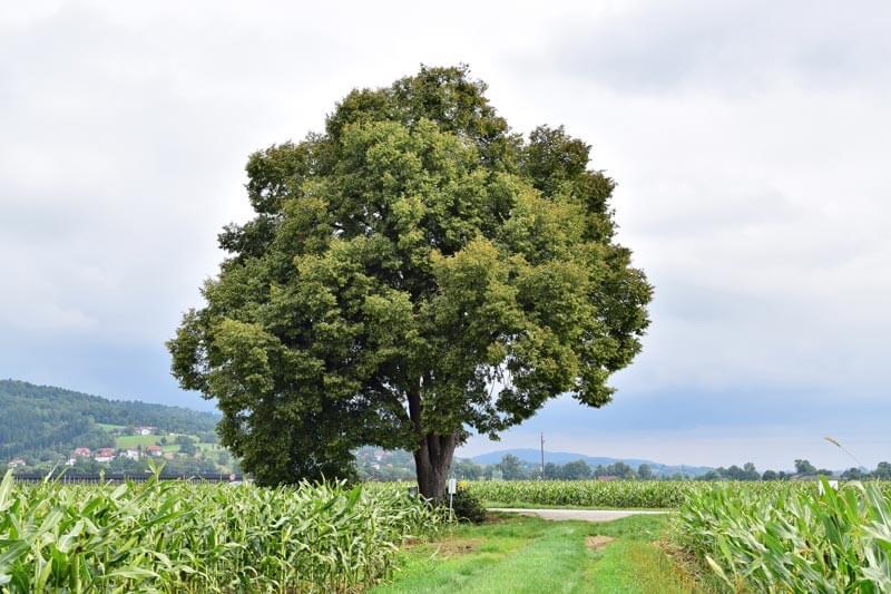 Winterlinde Baum des Jahres 2016