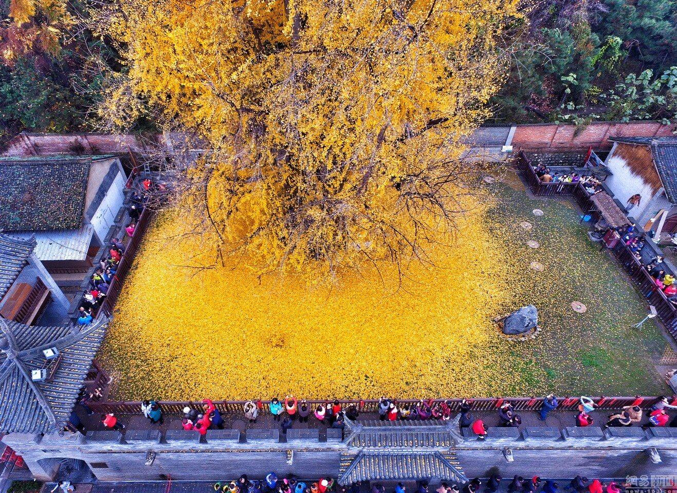 1400 Jahre alter Ginko Baum hinterlässt ein Meer aus