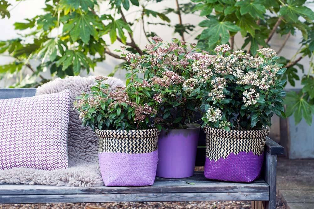 Gartenpflanze der monats februar schneeball viburnum gartenbau und landschaftsbau aus - Gartenbau erftstadt ...
