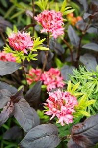 Gartenpflanze des Monats März: die Azalea