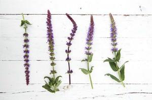 Gartenpflanze des Monats Mai