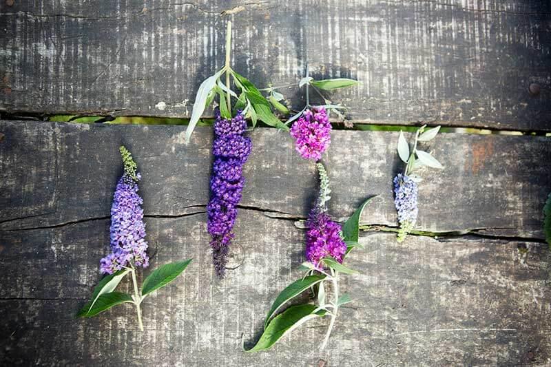 Gartenpflanze des Monats August Sommer Flieder