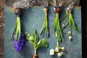 Zwiebelpflanze Frühjahr im Topf Gartenpflanze Tipp Februar