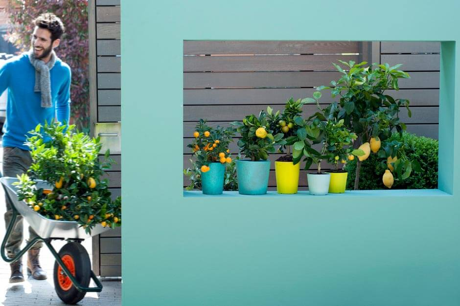 unser pflanzentip im m rz sch ne farben s er duft das zitrusb umchen gartenbau und. Black Bedroom Furniture Sets. Home Design Ideas