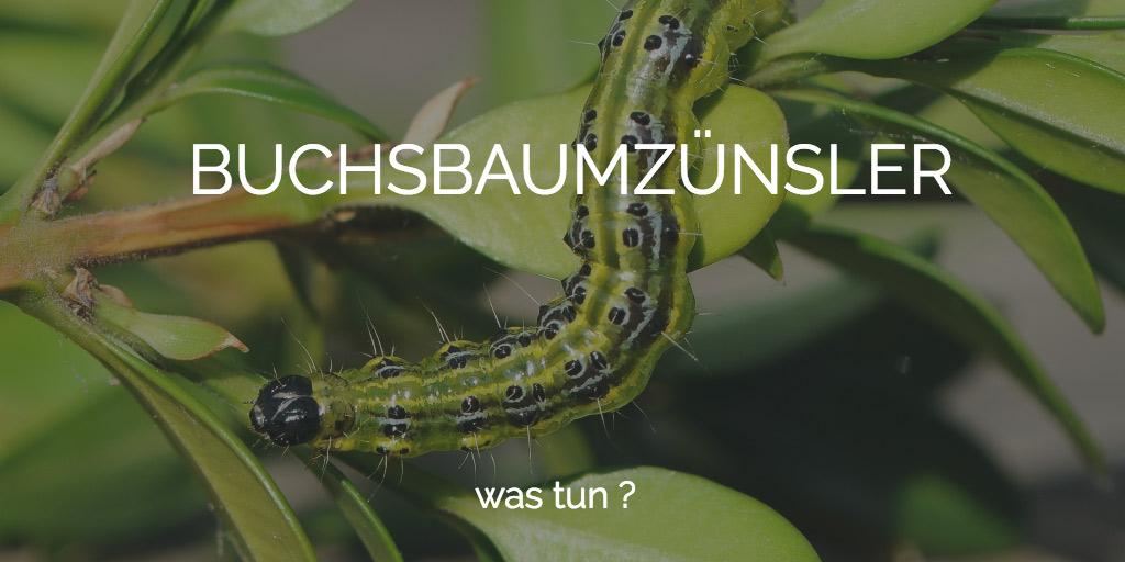 Buchsbaumzünsler Köln bekämpfen Alternative zum Buchsbaum