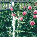 Rosengarten-köln und rosen für NRW