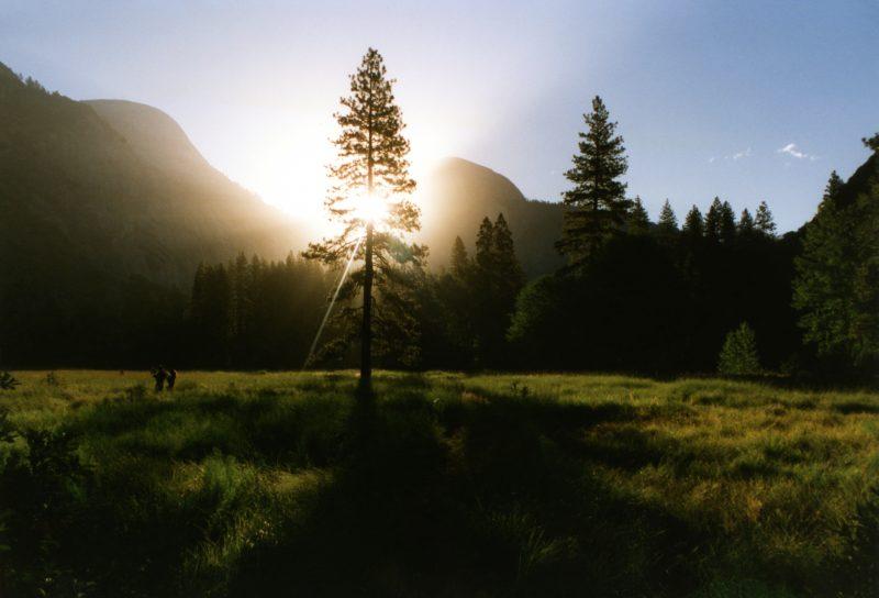 abendländischer lebensbaum